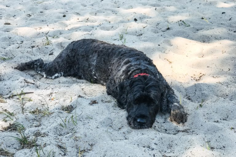 Hund in Everinghauser Wanderdüne Sottrum