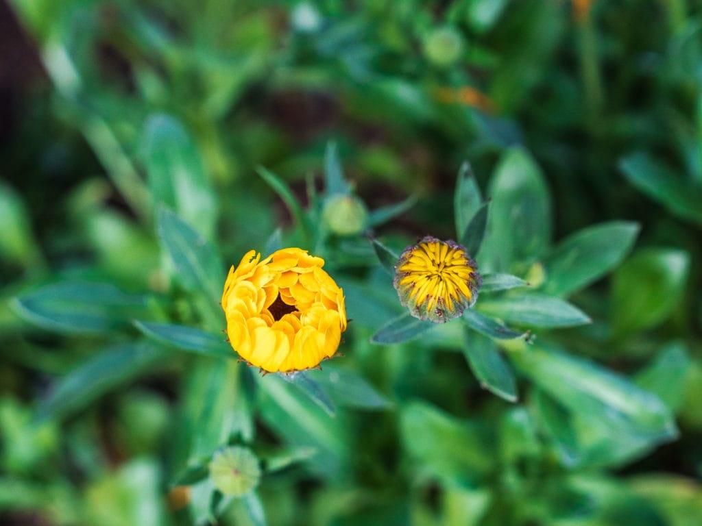DIY Sommergarten mit Ringelblume
