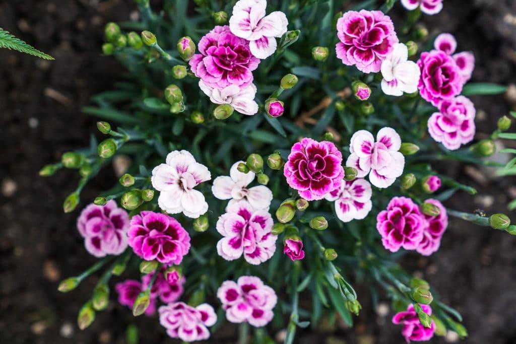 DIY Sommergarten Staudennelke Pink Kisses