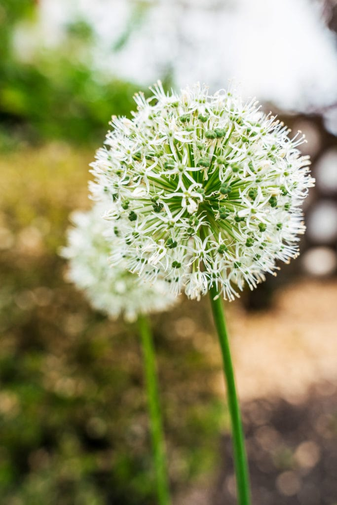 DIY Sommergarten Allium Zierlauch